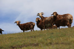 grupo de carneiros que andam na montanha Fotos de Stock Royalty Free