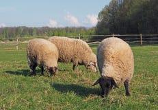 Grupo de carneiros que pastam em um pasto Fotos de Stock