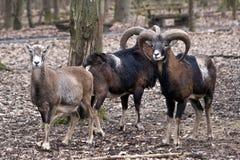 Grupo de carneiros selvagens Imagens de Stock