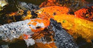 Grupo de carpas coloridas que nadan en las aguas de un lago Imagen de archivo