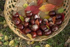 Grupo de castañas frescas en cesta de mimbre baja con las hojas de otoño coloridas secas en hierba verde, nueces uno por uno en c foto de archivo libre de regalías
