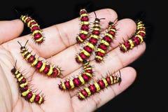 Grupo de caterpill pasado del cyane de Cethosia del Lacewing del leopardo del instar Imagen de archivo libre de regalías