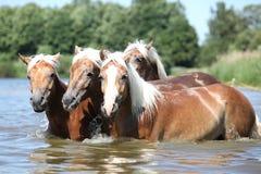 Grupo de cavalos da castanha na água Fotos de Stock