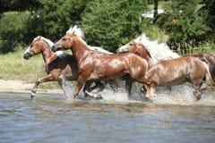 Grupo de cavalos da castanha que correm na água Imagem de Stock