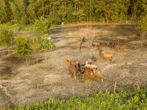 Grupo de cavalos marrons bonitos em um monte de passeio perto da opinião aérea da floresta do zangão fotografia de stock