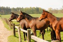 Grupo de cavalos marrons no cerco no pasto do prado, estando de lado a lado Foto de Stock