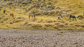 Grupo de cavalos que comem, Patagonia, Argentina Foto de Stock