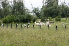 Grupo de cegonhas e de pelicanos Fotografia de Stock Royalty Free