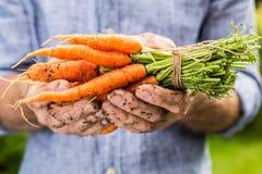 Grupo de cenouras novas no gardener& x27; mãos de s foto de stock royalty free
