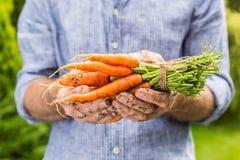 Grupo de cenouras novas no gardener& x27; mãos de s imagem de stock