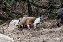 Grupo de cerdos jovenes en un bosque imagen de archivo libre de regalías