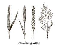 Grupo de cereais do desenho da tinta, plantas selvagens, ervas do campo, ilustração botânica detalhada de cereais selvagens Flora Imagens de Stock Royalty Free