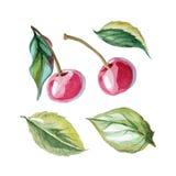Grupo de cereja e de folhas Fotos de Stock