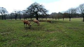 Grupo de cervos filme