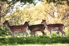 Grupo de cervos Imagens de Stock