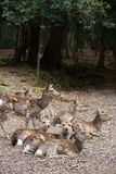 Grupo de cervos asiáticos selvagens Imagem de Stock