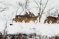 Grupo de cervos de ovas Fotografia de Stock Royalty Free