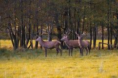 Grupo de cervos vermelhos Fotografia de Stock Royalty Free
