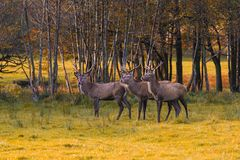 Grupo de cervos vermelhos Imagens de Stock