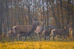 Grupo de cervos vermelhos Imagem de Stock