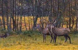 Grupo de cervos vermelhos Foto de Stock