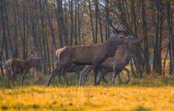 Grupo de cervos vermelhos Foto de Stock Royalty Free