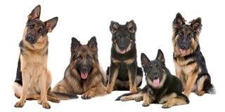 Grupo de cães de pastor alemão Fotos de Stock
