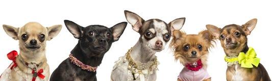 Grupo de chihuahuas acima vestidas, isolado Fotos de Stock Royalty Free