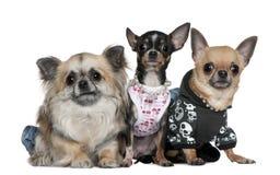 Grupo de chihuahuas vestidas para arriba Imágenes de archivo libres de regalías