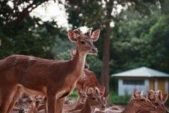 Grupo de ciervos Imagenes de archivo