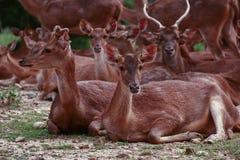 Grupo de ciervos Fotos de archivo libres de regalías