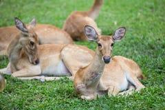 Grupo de ciervos del antílope que se sientan en la hierba Foto de archivo libre de regalías