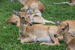 Grupo de ciervos del antílope que se sientan en la hierba Imagen de archivo