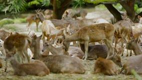 Grupo de ciervos del pantano que se relajan en el parque zoológico metrajes