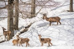 Grupo de ciervos en un parque en Italia septentrional el invierno con nieve Fotos de archivo libres de regalías