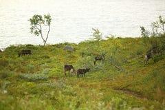 Grupo de ciervos que pastan en pasto Fotografía de archivo libre de regalías