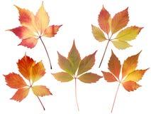 Grupo de cinco folhas da queda isoladas no branco Fotos de Stock Royalty Free
