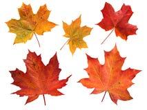 Grupo de cinco folhas de bordo isoladas no branco Fotos de Stock