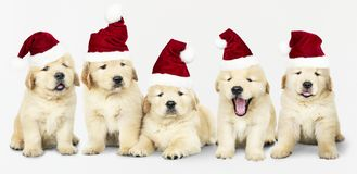 Grupo de cinco golden retriever que vestem chapéus de Santa imagens de stock royalty free
