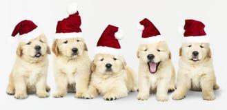 Grupo de cinco golden retriever que vestem chapéus de Santa fotografia de stock royalty free