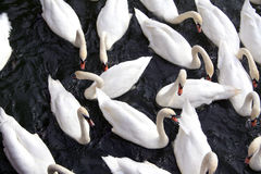 Grupo de cisnes Foto de archivo