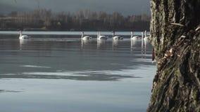Grupo de cisnes filme