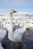 Grupo de cisnes Imagens de Stock Royalty Free