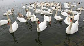 Grupo de cisnes Fotos de Stock Royalty Free