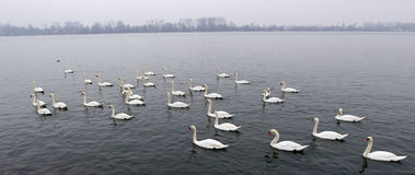 Grupo de cisnes Foto de Stock Royalty Free