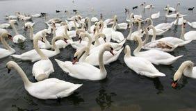Grupo de cisnes fotografía de archivo