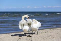 Grupo de cisnes blancos hermosos en una playa arenosa en Sopot, Polonia imagen de archivo