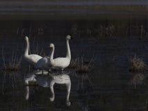 Grupo de cisnes de tundra Foto de archivo libre de regalías