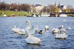 Grupo de cisnes en Cracovia, Polonia Imagenes de archivo
