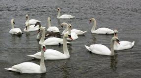 Grupo de cisnes en el río el invierno, buscando la comida Fotografía de archivo